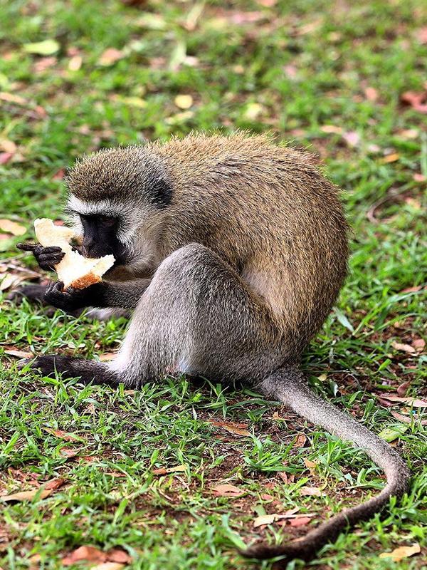 میمون دزد