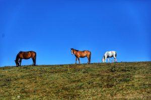اسب گولمارك