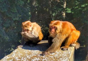 میمون در هند