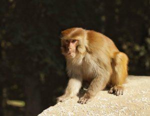 میمون شبیه احمدی نژاد