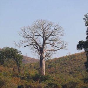 درخت باوباب