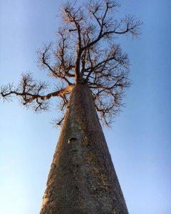 درخت باوباب در ماداگاسکار