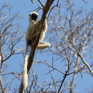 لمور های ماداگاسکار
